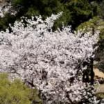小倉の街、小倉城の桜