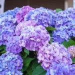 フォトアルバム:咲き誇る紫陽花